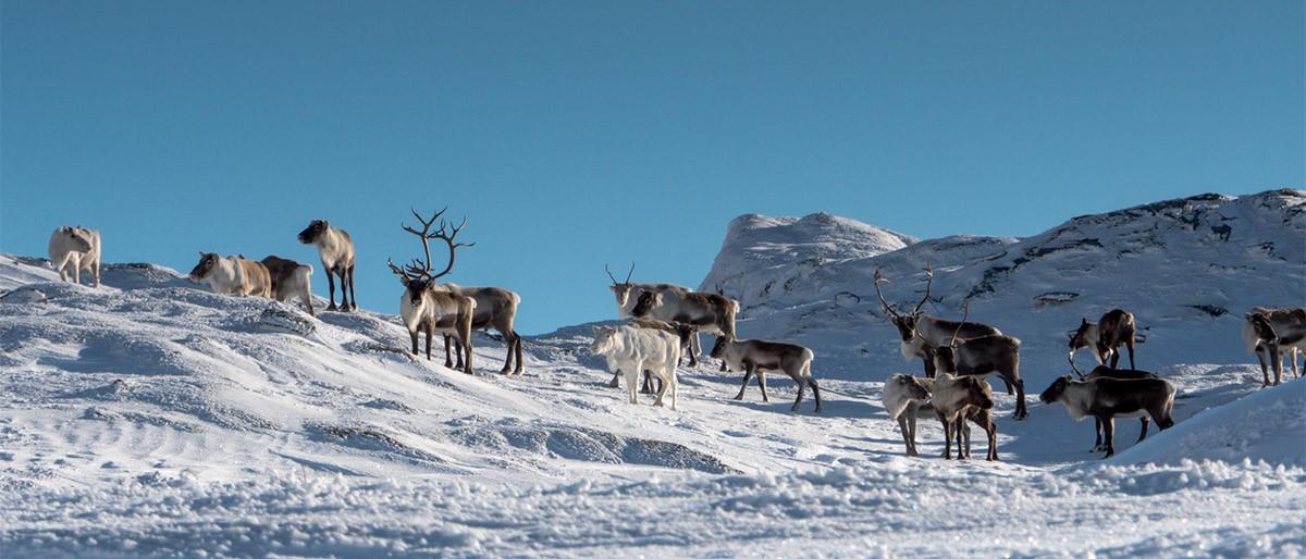 Vemdalen Reindeer 21x9