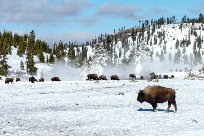 Jan Clifford - Yellowstone Bison