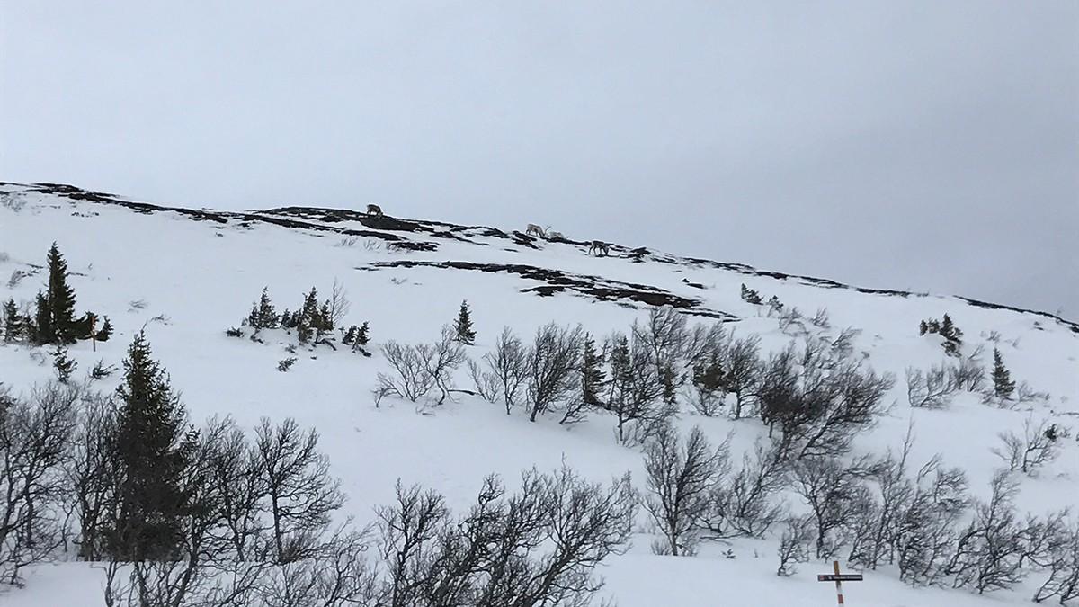 Åre Reindeer