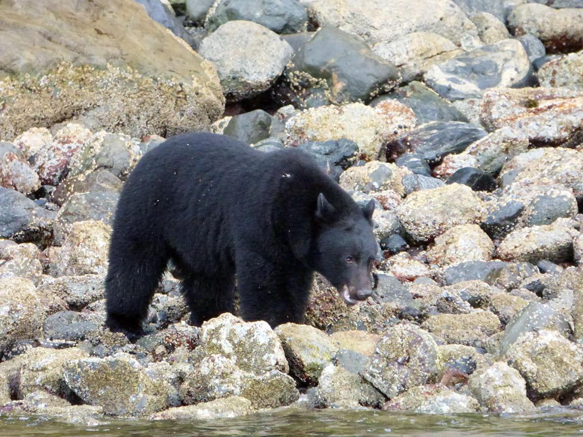 Black bear spotting on Vancouver Island