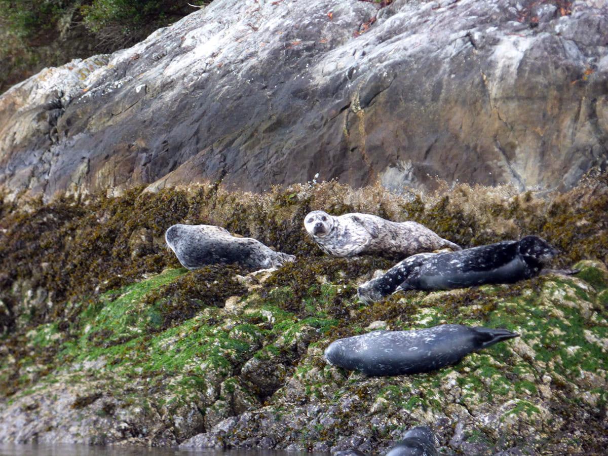 Harbour Seals in Tofino