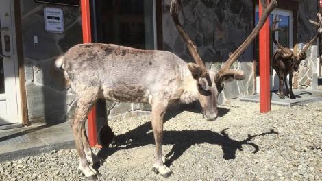 Moose outside the Hovde Hotel Vemdalen